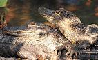 sum-nearby-gators